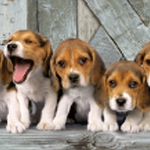 BEAGLE PUPPIES 47