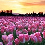 FIELD OF TULIPS SUNSET Diamond Painting Kit Paint With Diamonds Kit