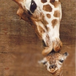 GIRAFFE KISSES 15