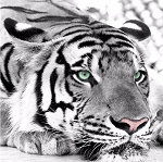TIGER EYES Diamond Painting Kit Paint with Diamonds Kit
